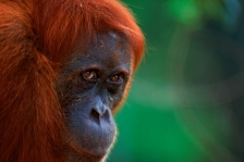 ASIA;ENDANGERED;FEMALES;GREAT_APES;HEADS;INDONESIA;MAMMALS;ORANGUTAN;OUTSTANDING